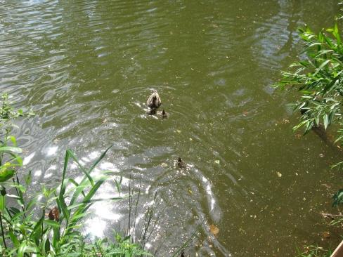 Die Entenmutter schwimmt auf dem Weiher und sammelt ihre elf Küken wieder ein.